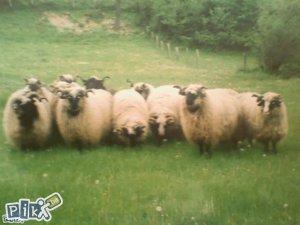 Ovce i ovnovi