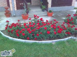 Sadnice crvene ruze lili marlen ruza