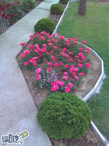 Sadnice roze pink ruza ruze